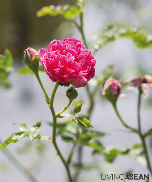 Damask roses thrive in a chemical-free environment. Besides their ethereal beauty, rose petals also have other practical uses. Among other things, Damask rose petals make for sweet-smelling tea when dried.
